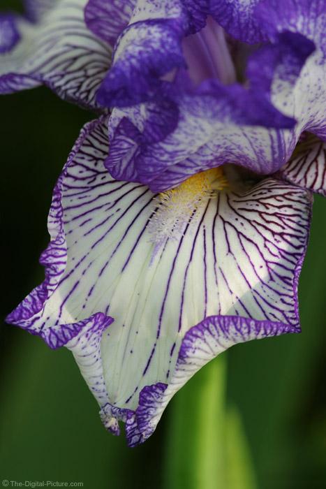 Iris Flower Picture 2