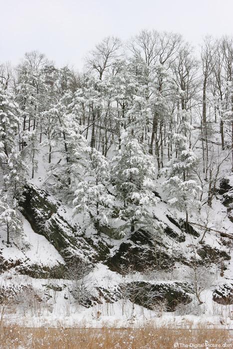 Snow-Covered Hemlock Trees