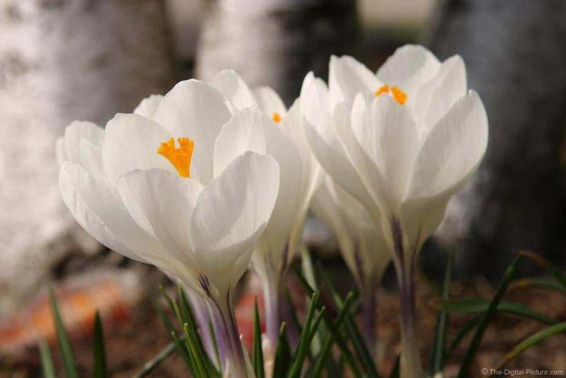 White Crocus Clump Picture
