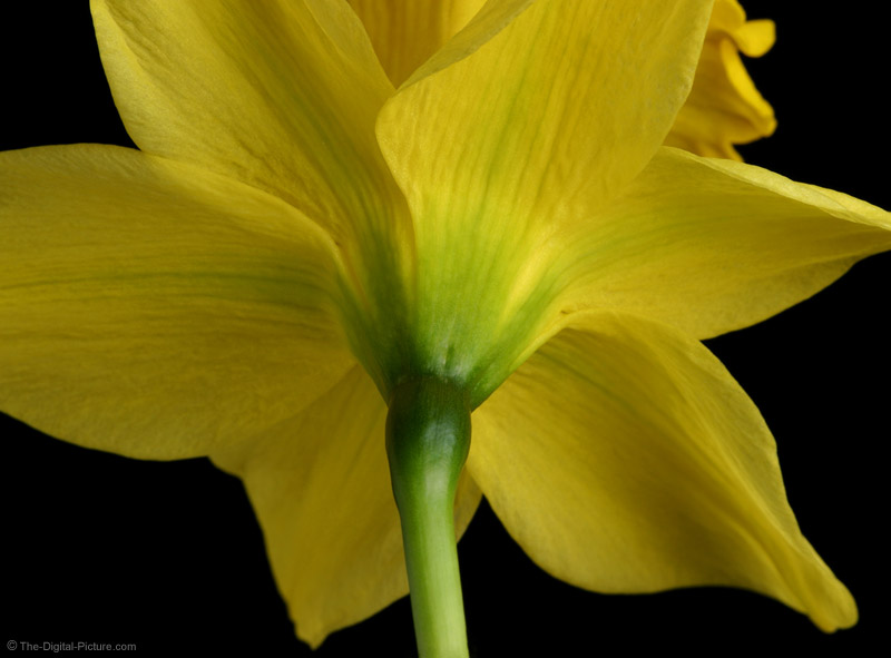 Yellow Daffodil Picture