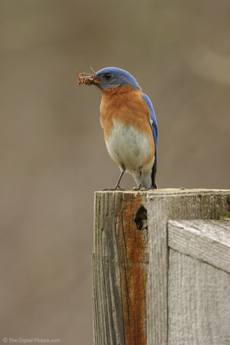 Eastern Bluebird Picture