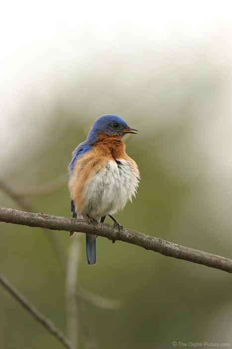 Fluffed Bluebird Picture