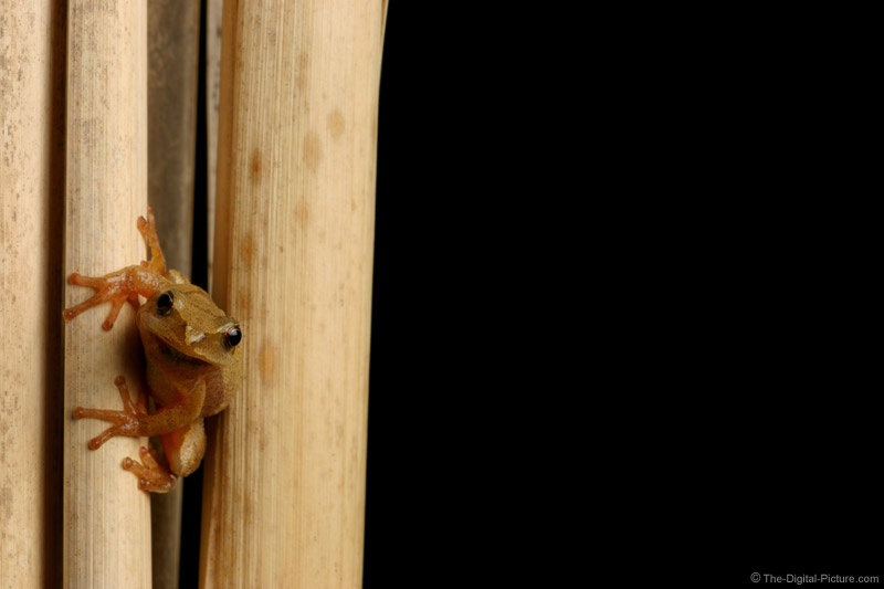 Spring Peeper Picture