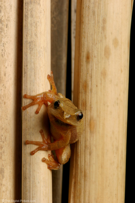 Northern Spring Peeper Picture