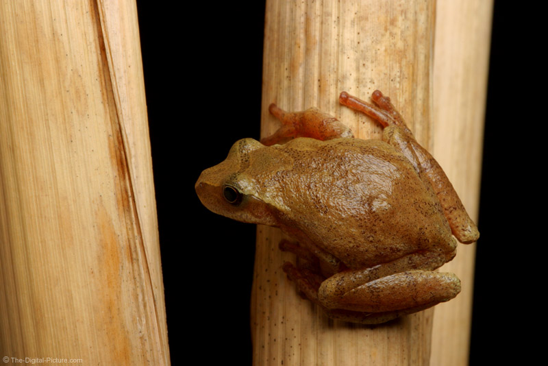 Spring Peeper on Cattail Picture