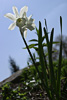 White Daffodil Picture