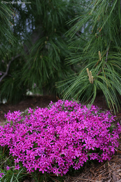 Creeping Phlox and White Pine Tree Picture