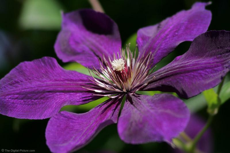 Purple Climatis Vine Picture