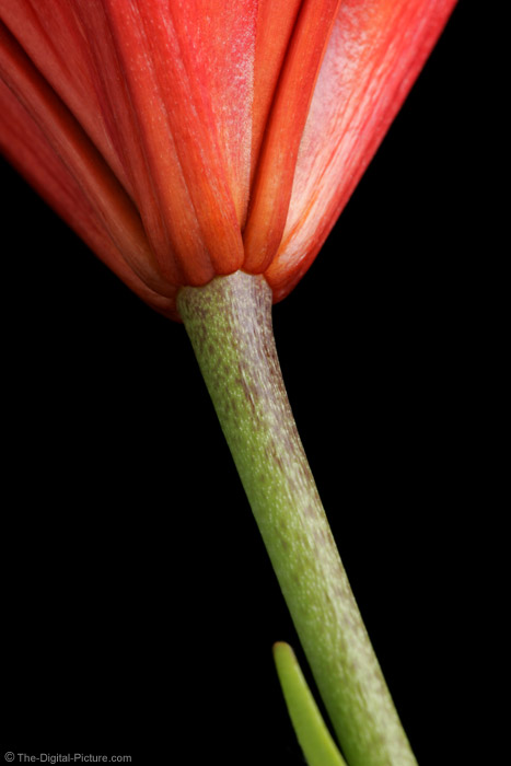 Lily and Stem Picture