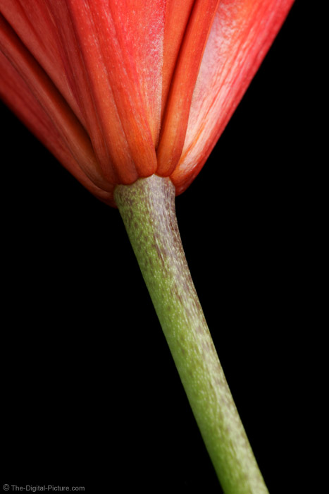 Lily and Smooth Stem Picture