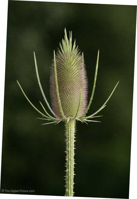 Thistle Picture