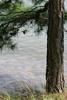 Pine Tree Picture