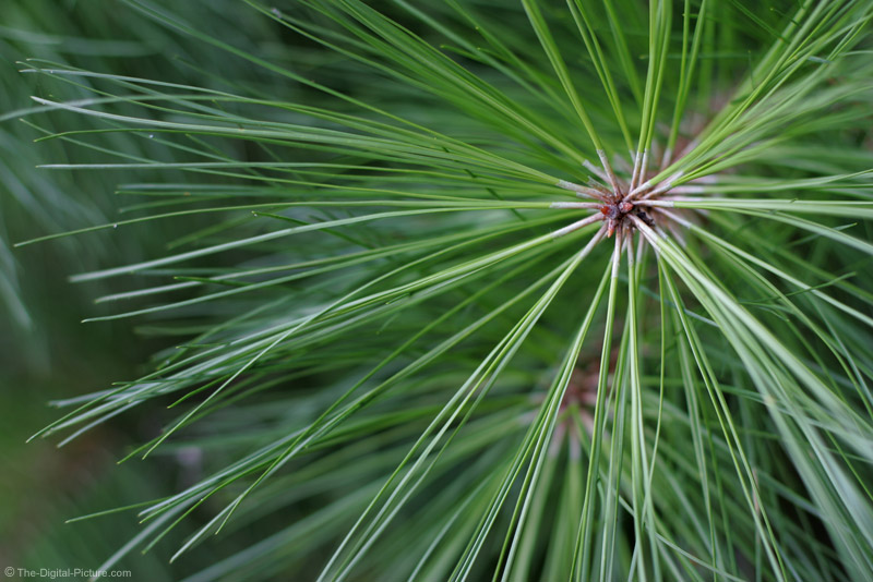 Pine Needle Picture