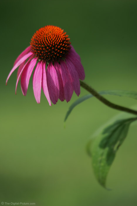 Pink Coneflower Picture