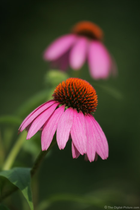 Twin Pink Conflowers Picture