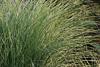 Maiden Grass Picture