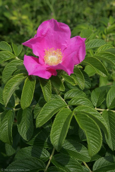 Maine Wild Rose Picture