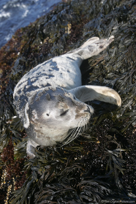 Harbor Seal Picture