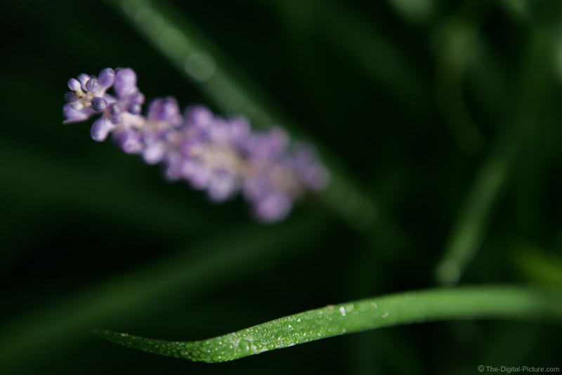 Liriope Flower and Leaf Picture