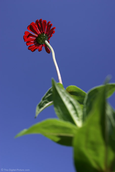 Red Zinnia Picture