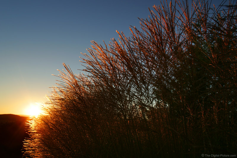 Ornamental Grass Sunset Picture