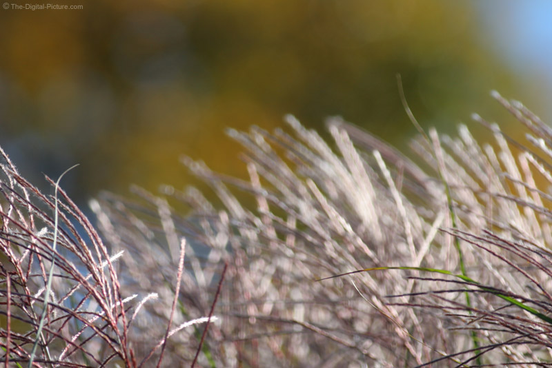 Grass Plumes Blowing in the Wind Picture
