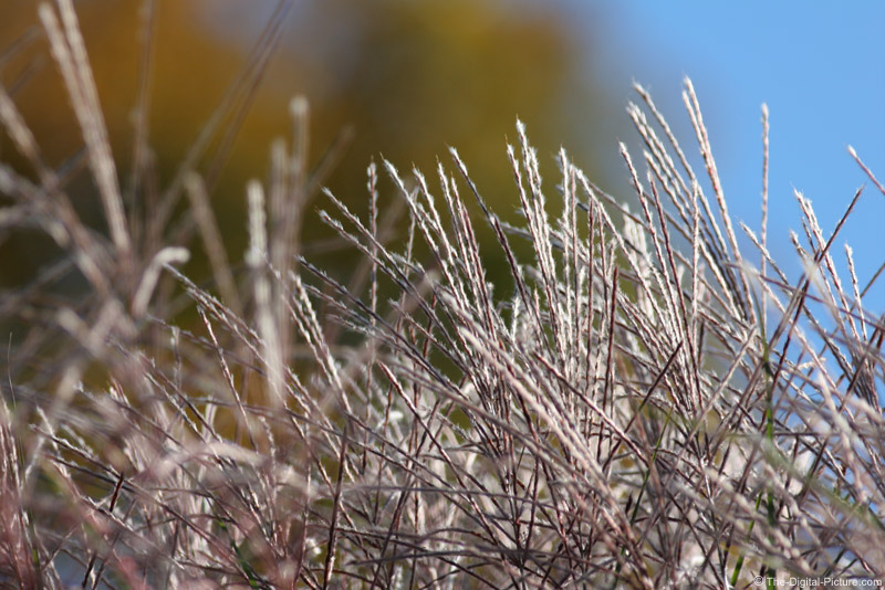 Ornamental Grass Plumes Picture