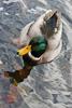 Mallard Duck Picture