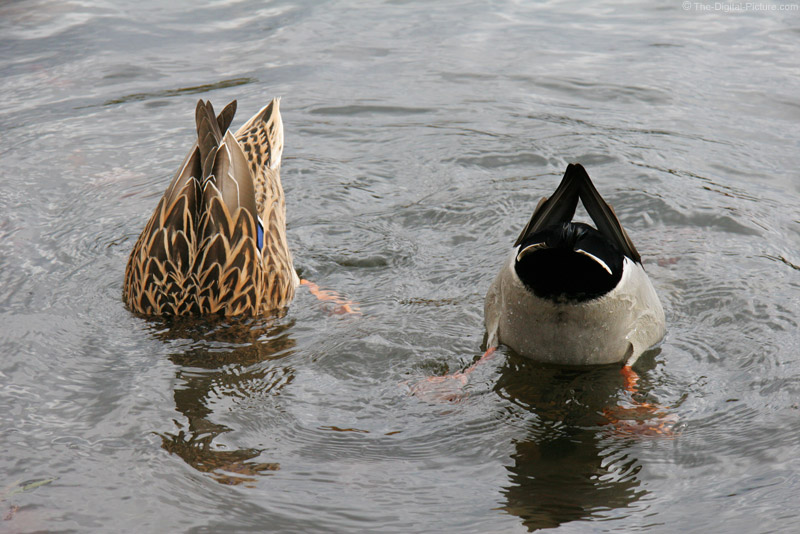 Two Mallard Ducks Feeding Picture