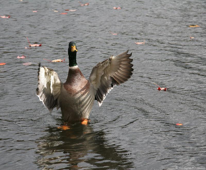 Mallard Duck Take Off Picture