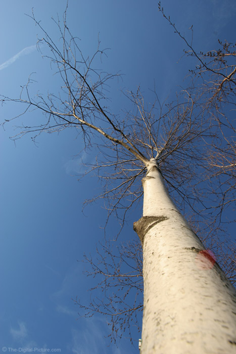 White Birch Tree Picture