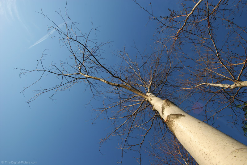 White Birch Tree and Blue Sky Picture