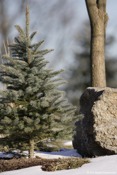 Spruce Tree and Rock Picture (f/4)