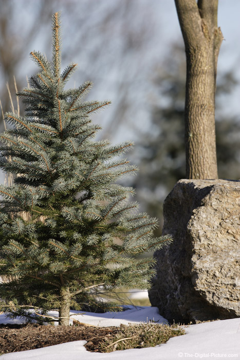Spruce Tree and Rock Picture (f/5.6)