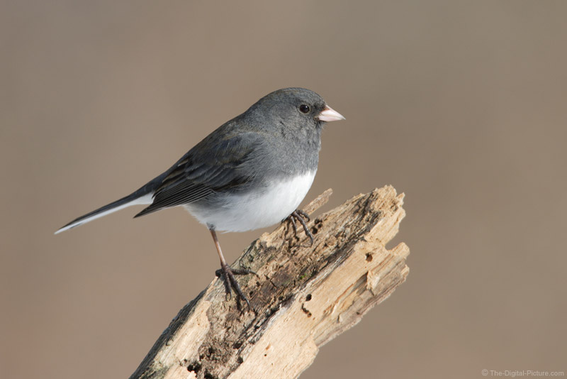 Dark-Eyed Junco 4