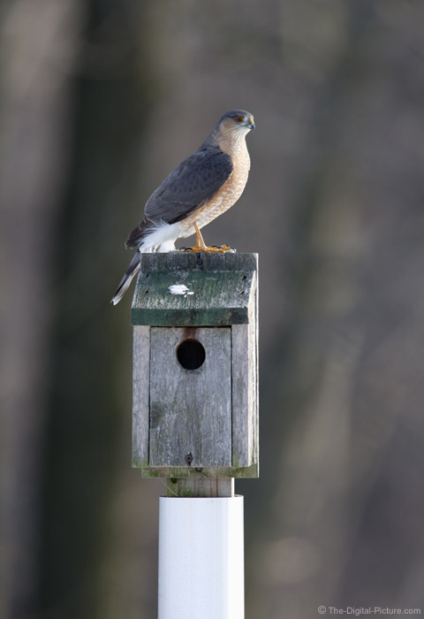 Sharp-Shinned Hawk on Bird House Picture
