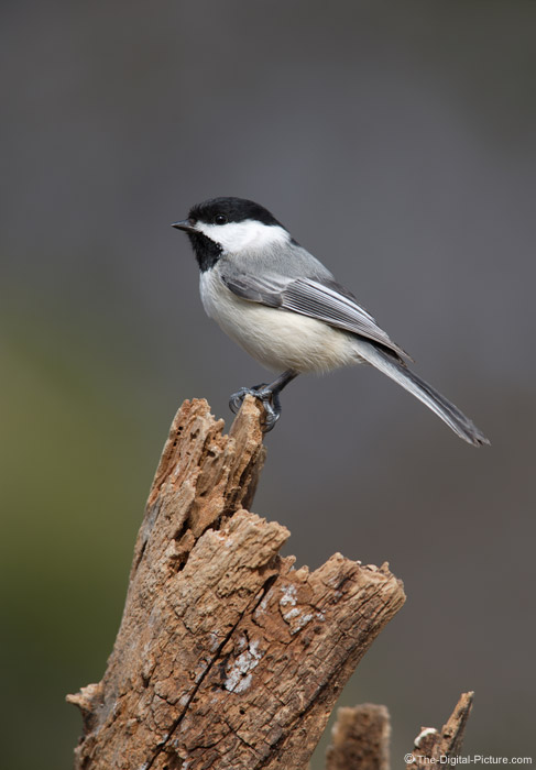 Black-Capped Chickadee 5