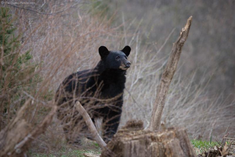 Black Bear Picture