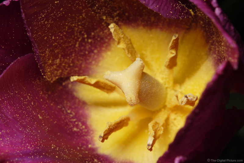 Yellow and Red Tulip Picture