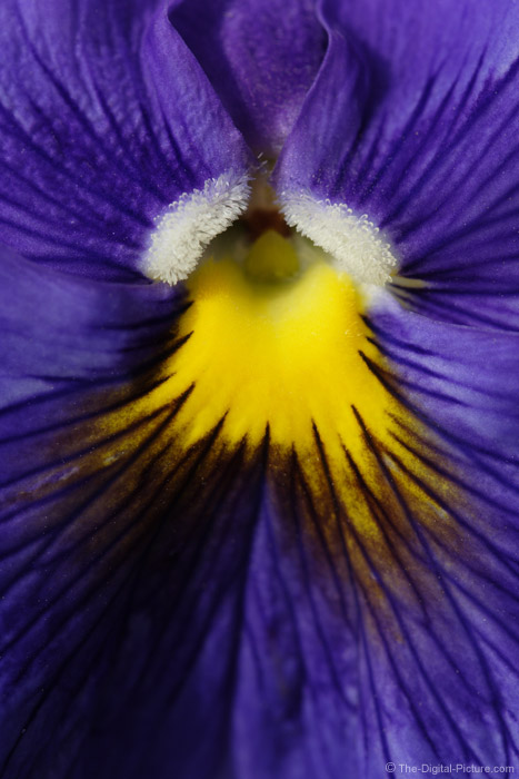 Purple Pansy Picture