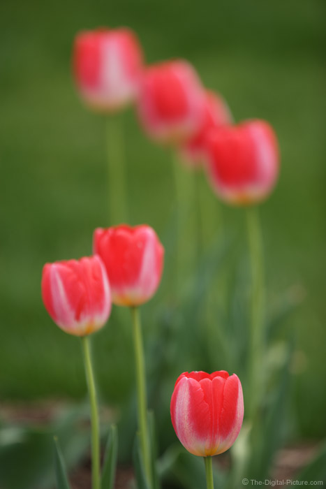Lots of Tulips Picture