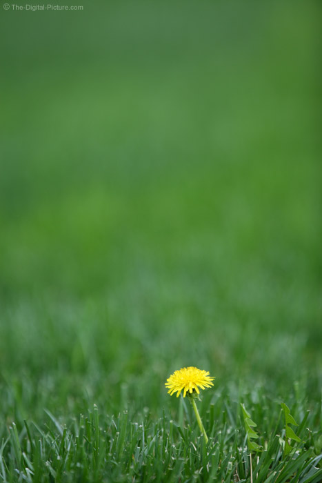 Dandelion in Green Grass Picture