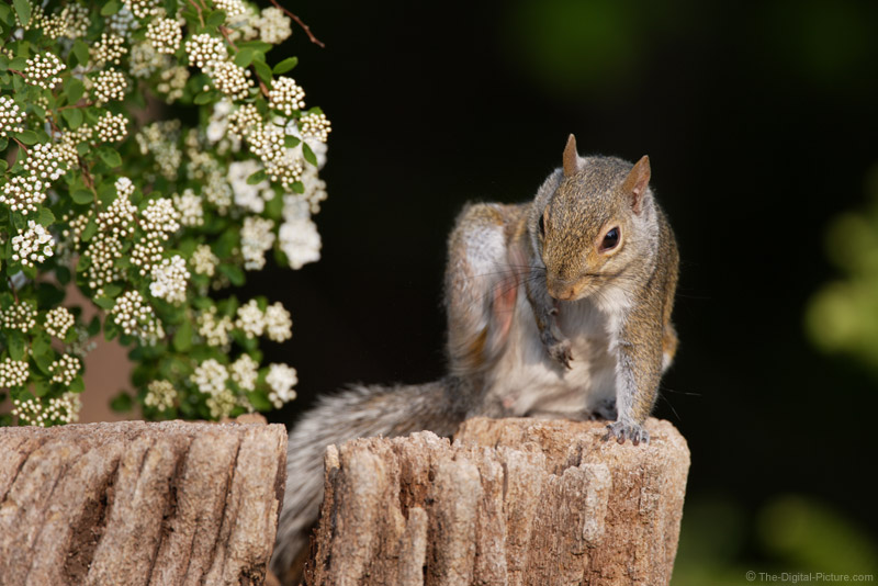 Scratching Squirrel Picture