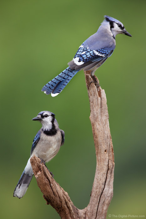 Pair of Blue Jays Picture