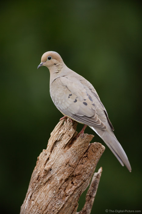 Mourning Dove Picture 3