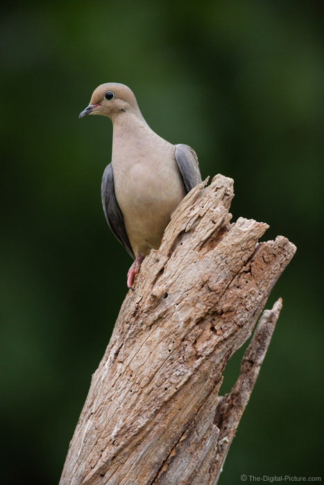Mourning Dove on Dead Tree Picture