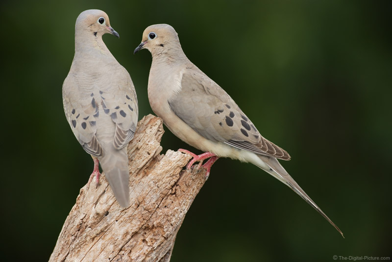 Mourning Dove Family Picture