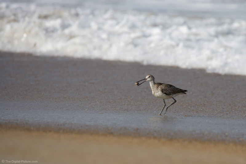 Shore Bird With Sand Flea Picture