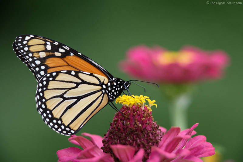 Monarch Butterfly on Zinnia Picture