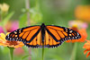 Monarch Butterfly 5